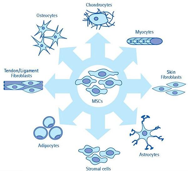 Mesenchymal Stem Cell Faqs Sigma Aldrich