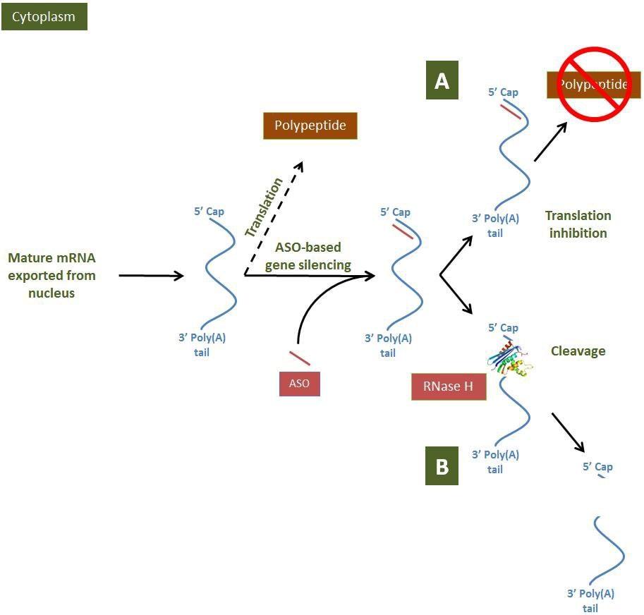 Antisense Oligonucleotides | Sigma-Aldrich