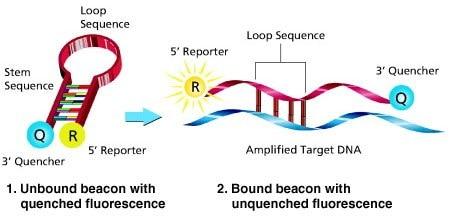 molecular ビーコン sigma aldrich