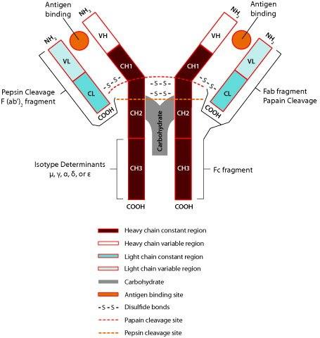Antibody Basics | Sigma-Aldrich
