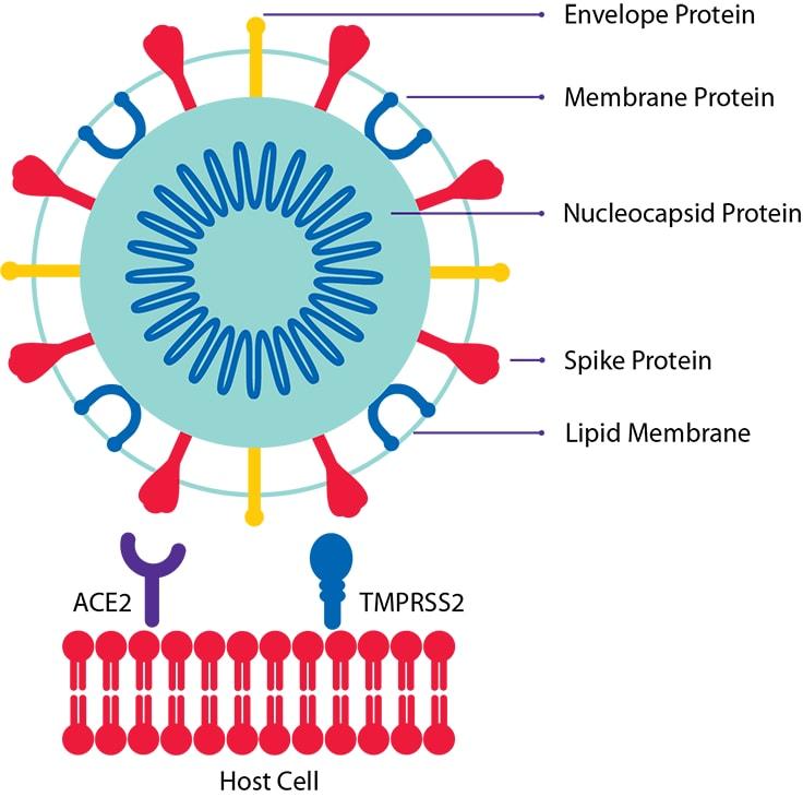 Coronavirus (SARS-CoV-2) Viral Proteins