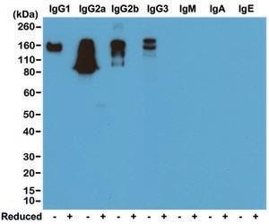Anti Mouse IgG antibody