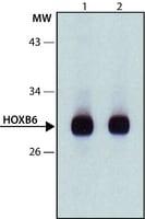 Anti-HOXB6 (N-terminal) antibody produced in rabbit