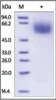 MSR1/CD204 human