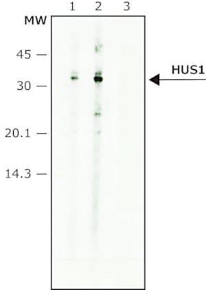 Anti-HUS1 antibody produced in rabbit
