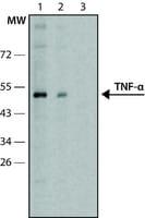 Anti-Tumor Necrosis Factor-α antibody produced in rabbit