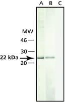 Anti-Caveolin-1 antibody produced in rabbit