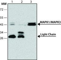 Anti-MAP Kinase, Monophosphorylated Tyrosine antibody ,Mouse monoclonal