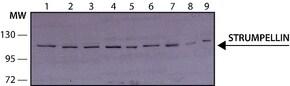 Anti-Strumpellin antibody produced in rabbit