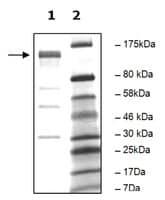 PDE4A10 active human