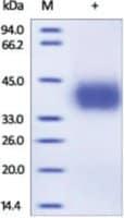 PD-L1/CD274/B7-H1 human