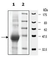 Ataxin3 active human