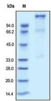 IGF 1R/CD221 human