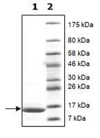 Histone H2a full length human
