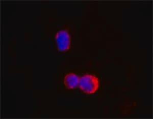 Monoclonal Anti-IKZF1/IKAROS antibody produced in mouse