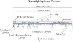 Dipeptidyl Peptidase IV human