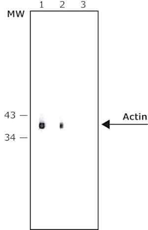 Anti-Mouse IgG (whole molecule)−Alkaline Phosphatase antibody produced in rabbit
