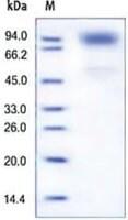 GCSFR/CD114 human