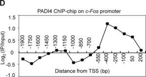Anti-PADI4 (N-terminal) antibody produced in rabbit