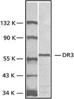 Anti-DR3, Extracellular Domain antibody produced in rabbit
