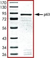 p63, GST tagged human