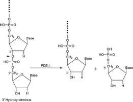 Phosphodiesterase I from Crotalus adamanteus venom vial of ≥0 40