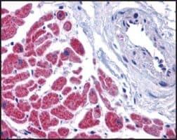 Anti-CASPASE-12 (ab1) antibody produced in rabbit