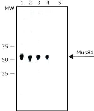 Anti-Mus81 antibody, Mouse monoclonal