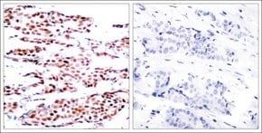 Anti-phospho-JUNB (pSer79) antibody produced in rabbit
