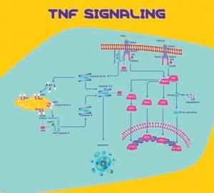 Tumor Necrosis Factor Soluble Receptor I (TNF sRI)/Fc Chimera human