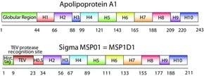 Membrane Scaffold Protein 1D1