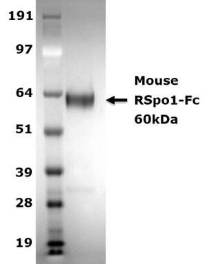 R-Spondin1 expressing 293T Cell Line   Sigma-Aldrich