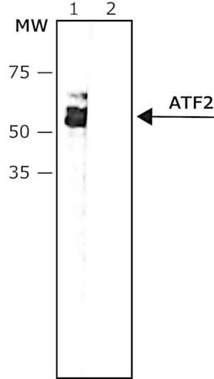 Anti-phospho-ATF-2 (pThr69,71) antibody, Mouse monoclonal