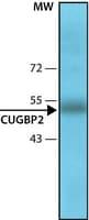 Anti-CUGBP2 antibody, Mouse monoclonal