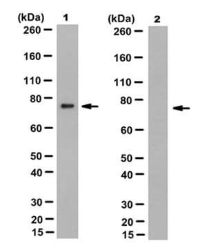 Anti Prelamin A Antibody Clone 7g11 Sigma Aldrich