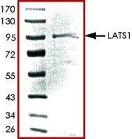 LATS1, active, GST tagged human