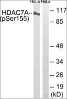 Anti-phospho-HDAC7A (pSer155) antibody produced in rabbit