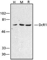 Anti-DcR1 antibody produced in rabbit