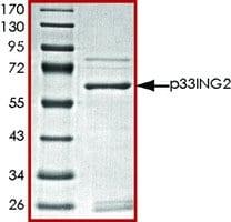 p33ING2, GST tagged human