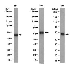 Anti-EB1, EB2 and EB3 Antibody, clone KT65 | Sigma-Aldrich