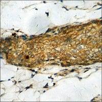 Anti-phospho-GRK1 (pSer21) antibody produced in rabbit